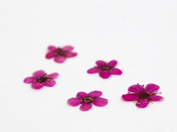 Kynsikoriste, kuivattu kukka valkoinen